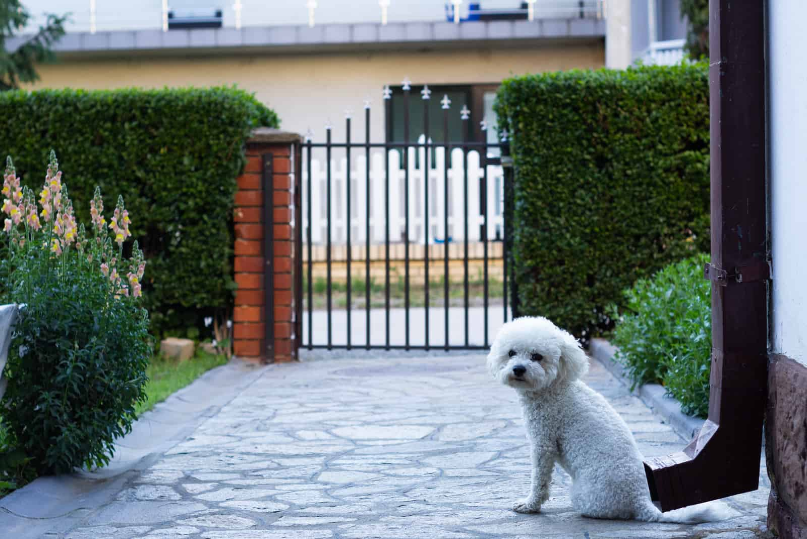 Small bichon frise dog guadring a front garden
