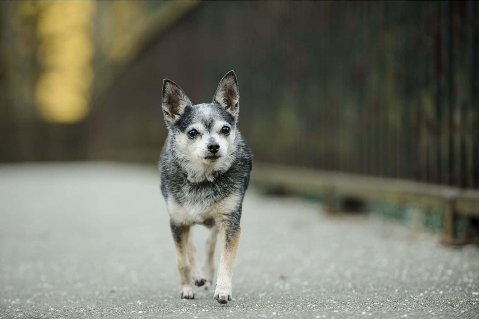Small senior Chihuahua walking over the bridge