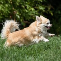 Long haired chihuahua playing outdoors in the grass lawn