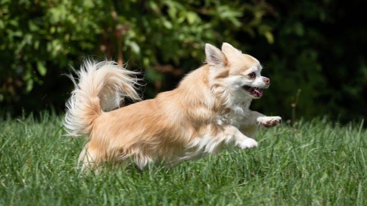 The Chihuahua Lifespan: How Long Do Chihuahuas Live?