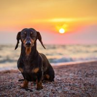 portrait dog breed dachshund, black and tan, against the setting sun on the beach in summer