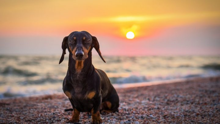 The Dachshund Lifespan: Average Life Expectancy And Common Health Issues