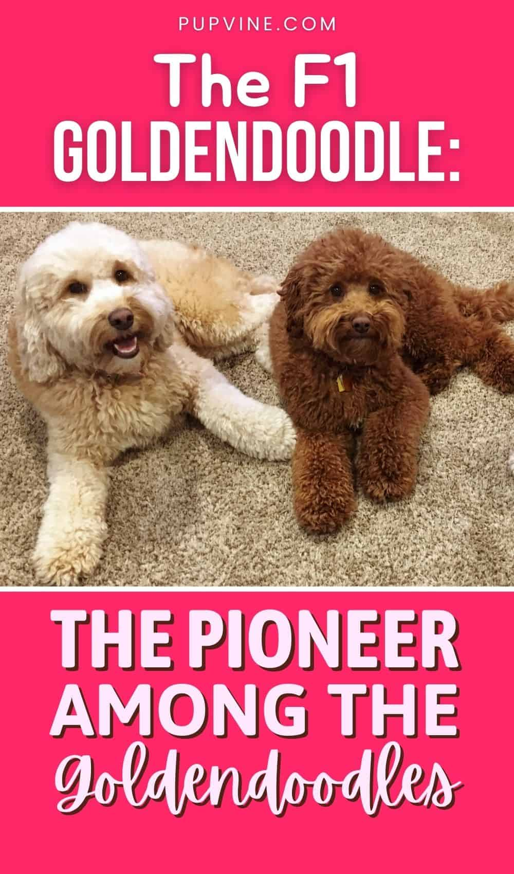 The F1 Goldendoodle The Pioneer Among The Goldendoodles