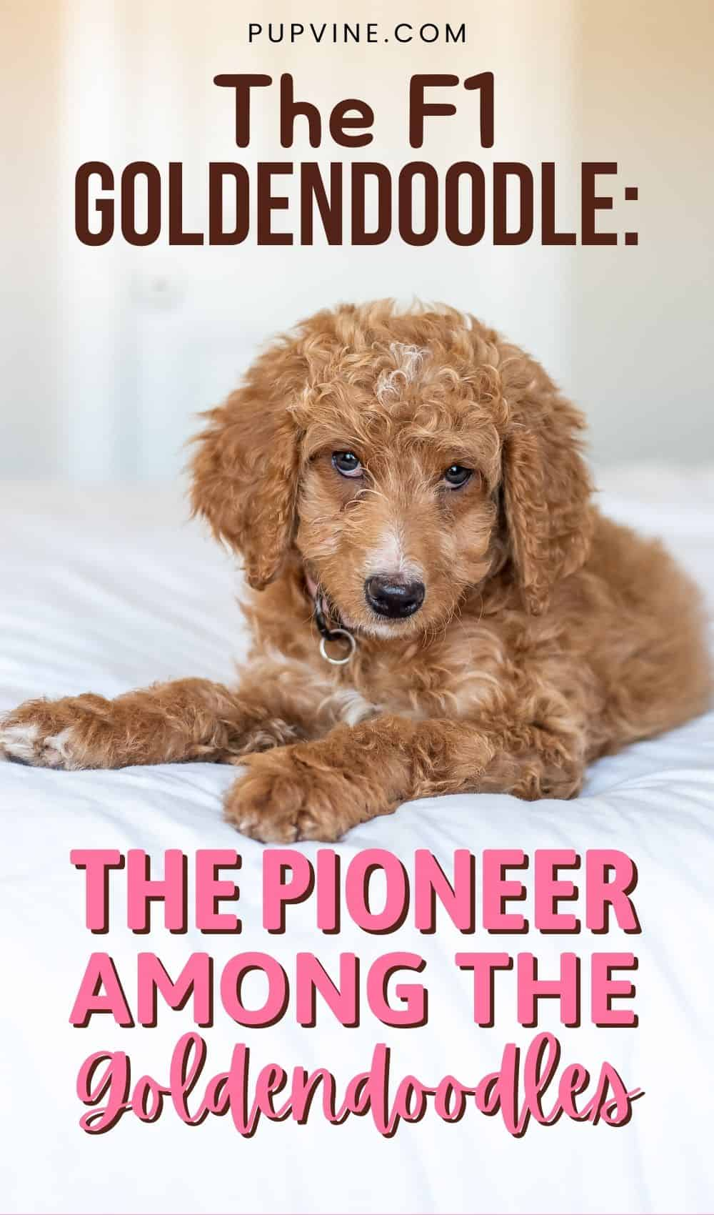 The F1 Goldendoodle: The Pioneer Among The Goldendoodles
