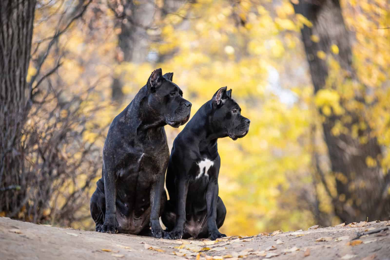 Two Cane Corso dogs are sitting in the autumn park