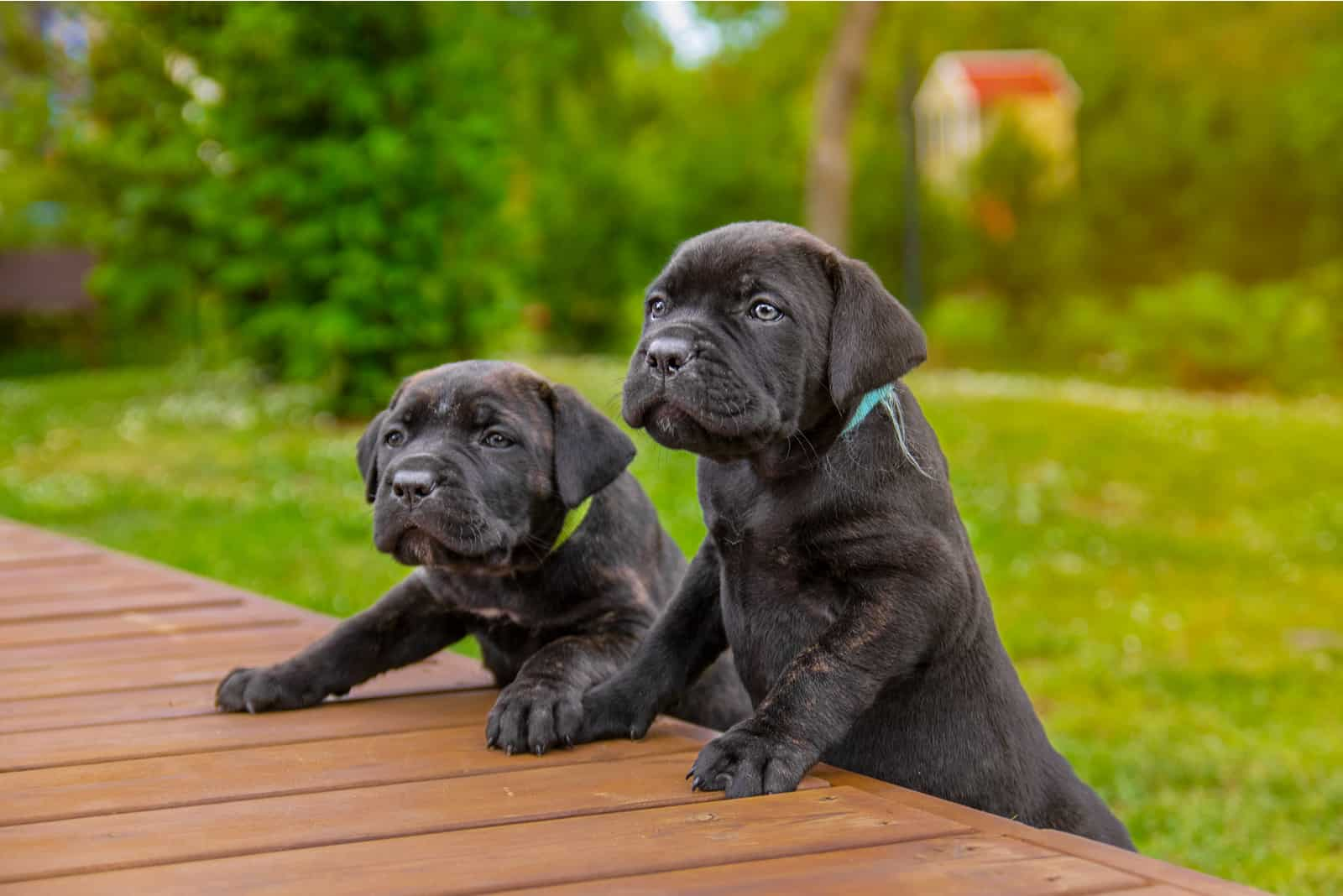 Two adorable Cane Corso Italiano puppies