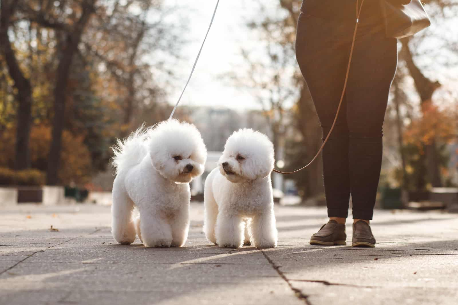 Two small puppy Bichon Frise on the street