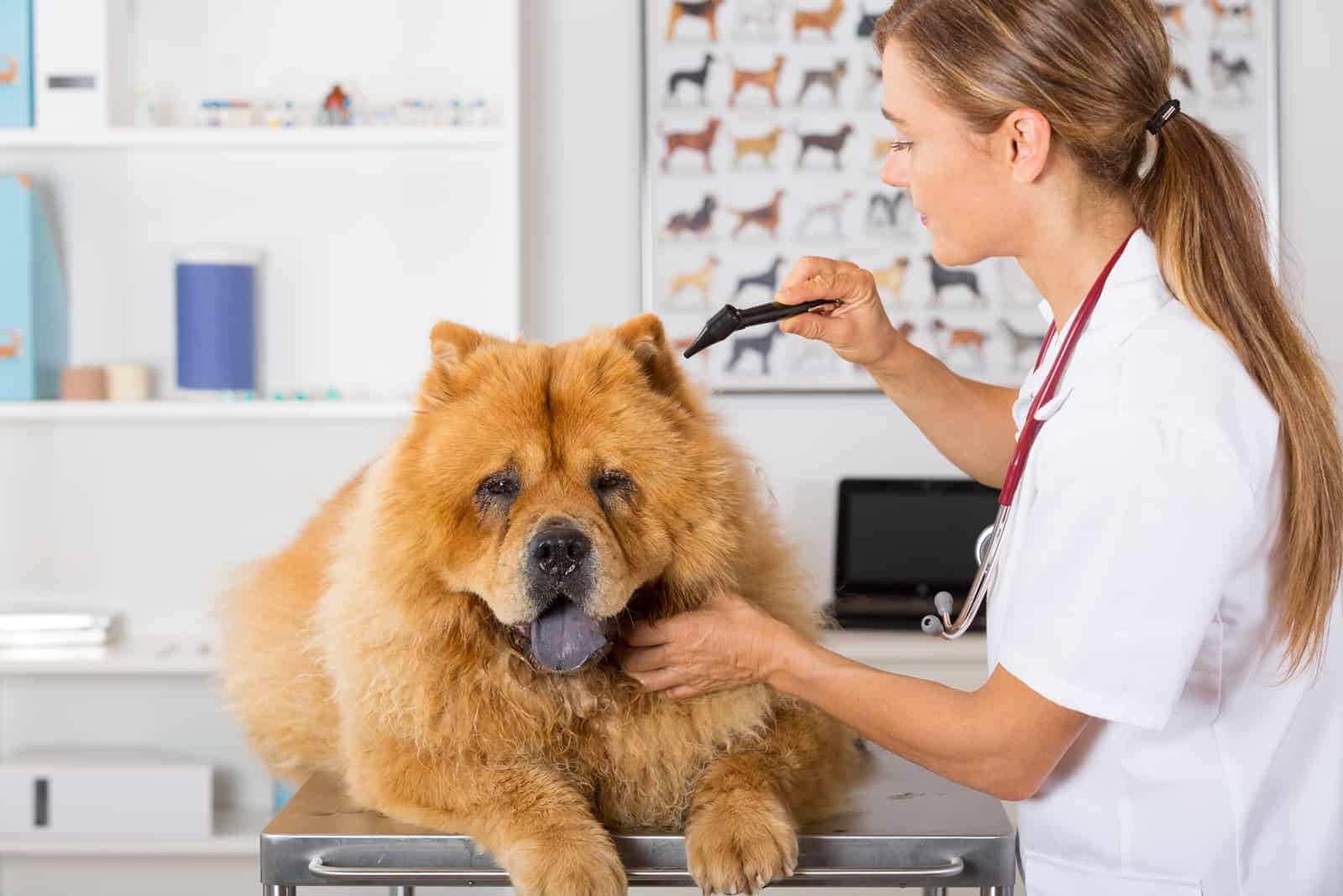 Veterinary conducting an inspection of the ear to a Chow Chow clinic