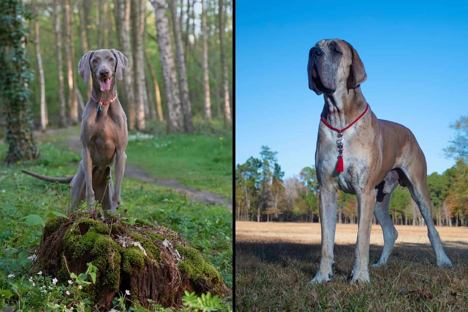 weimaraner and great dane dog in two frames