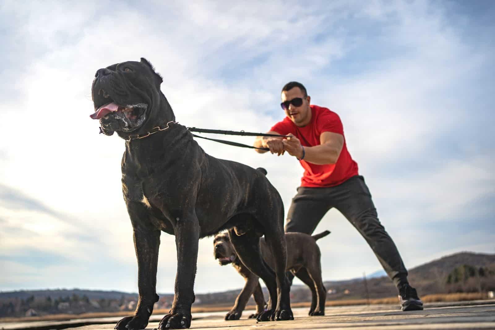 aggressive cane corso on leash held by its trainor