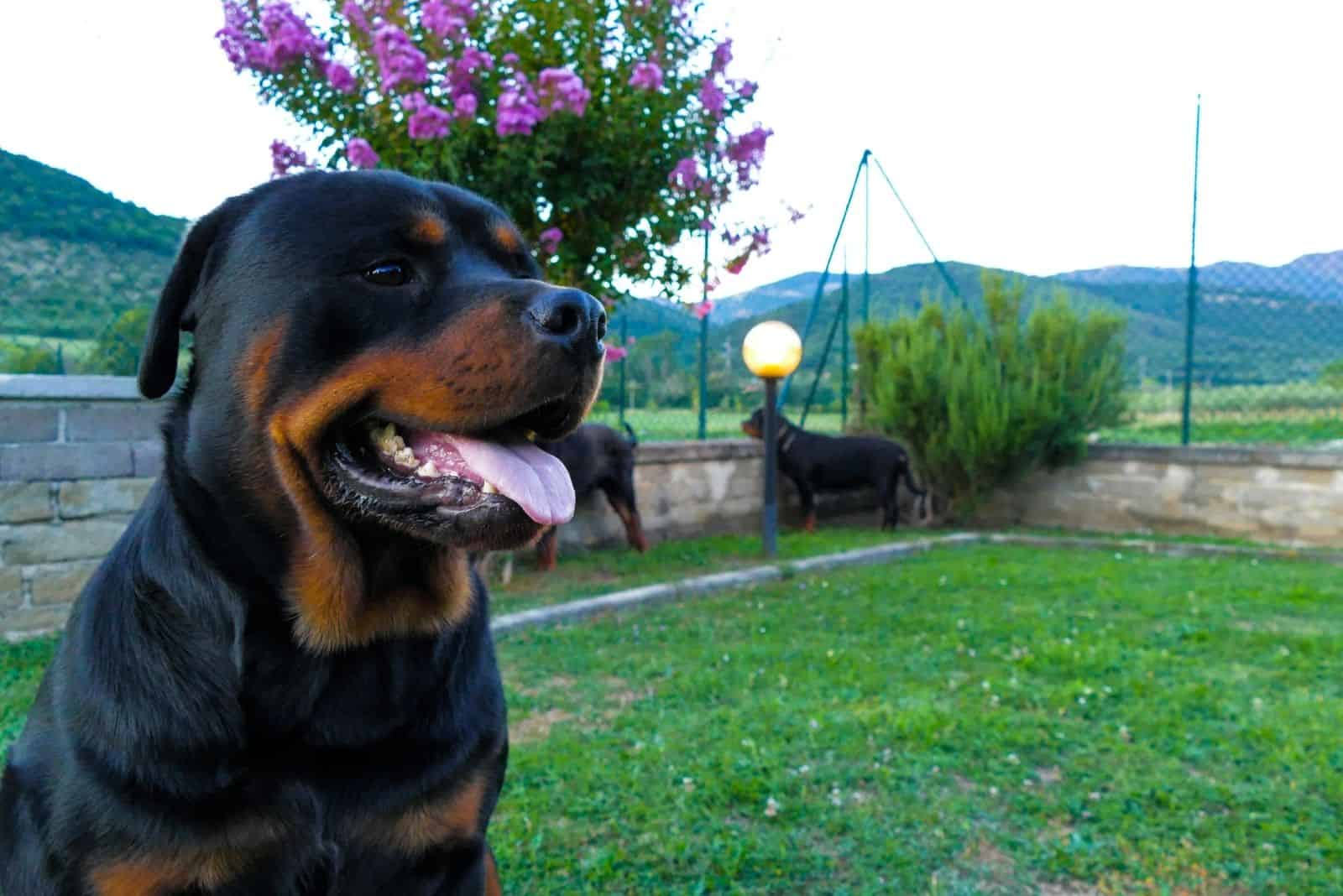 amazing rottweiler dog outside the house with a beautiful garden at the background