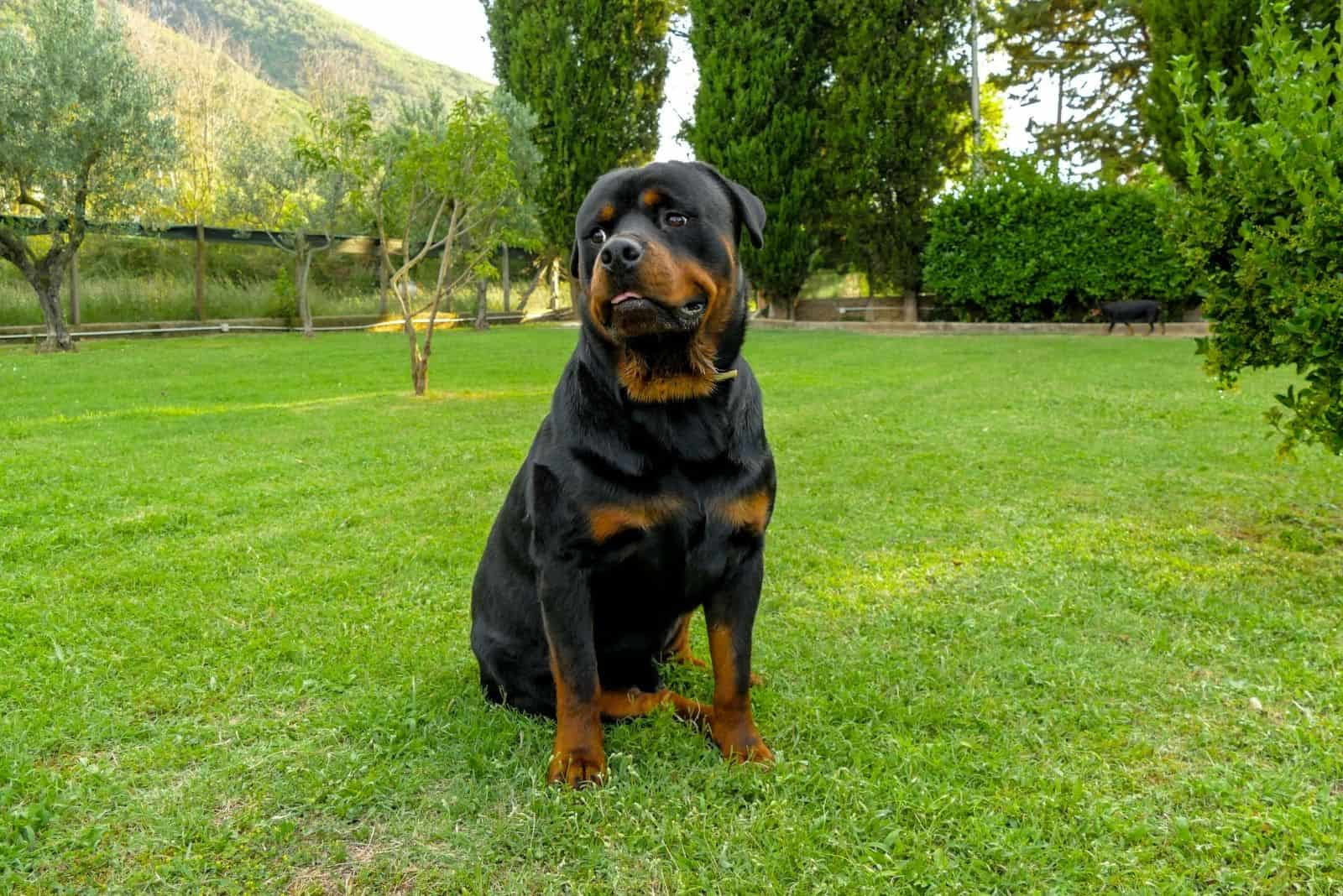 amazing rottweiler playing in the lawn