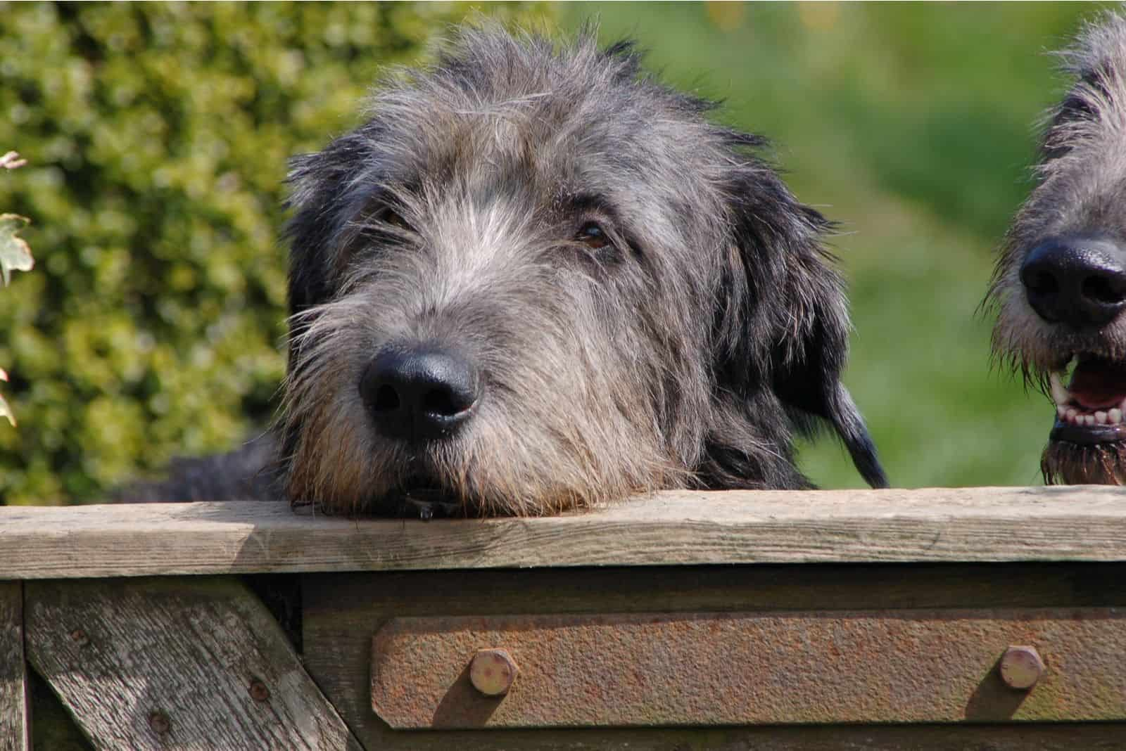 an irish wolfhound puppy resting its chin on the railings