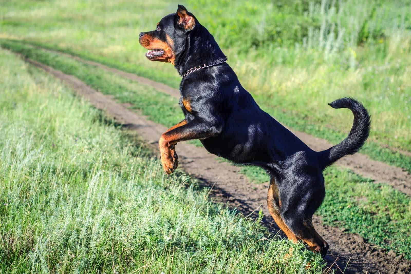 angry dog rottweiler going up a grassland outdoors