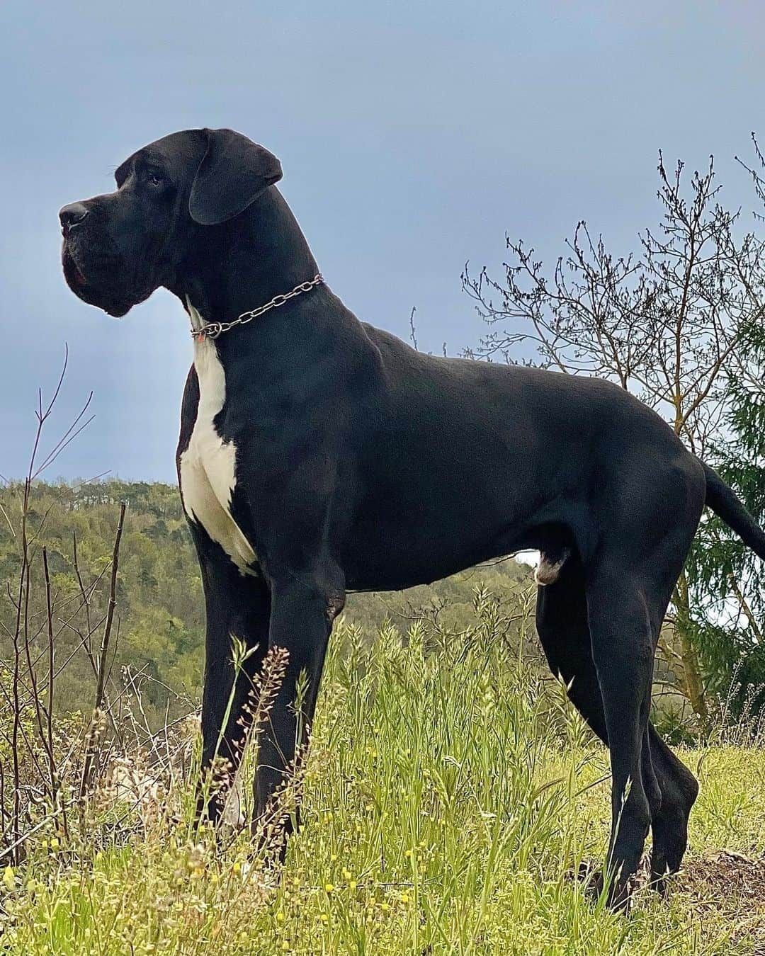 beautiful great dane dog standing on the grass