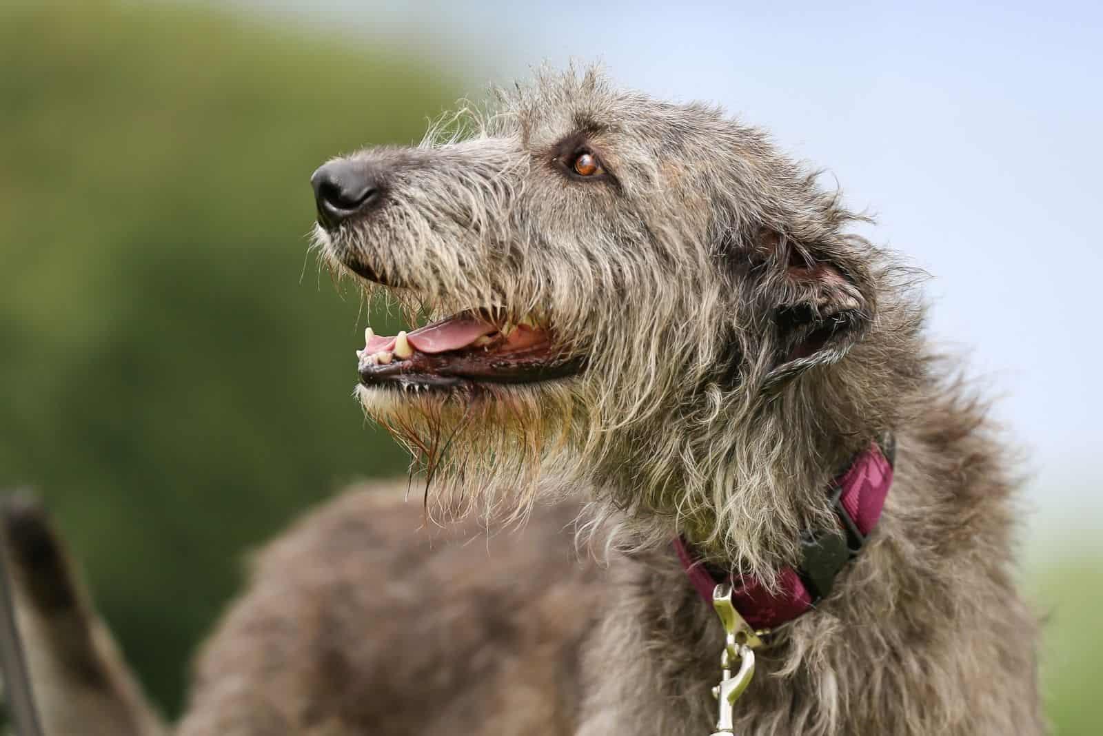 beautiful head shot of an irish wolfhound looking back