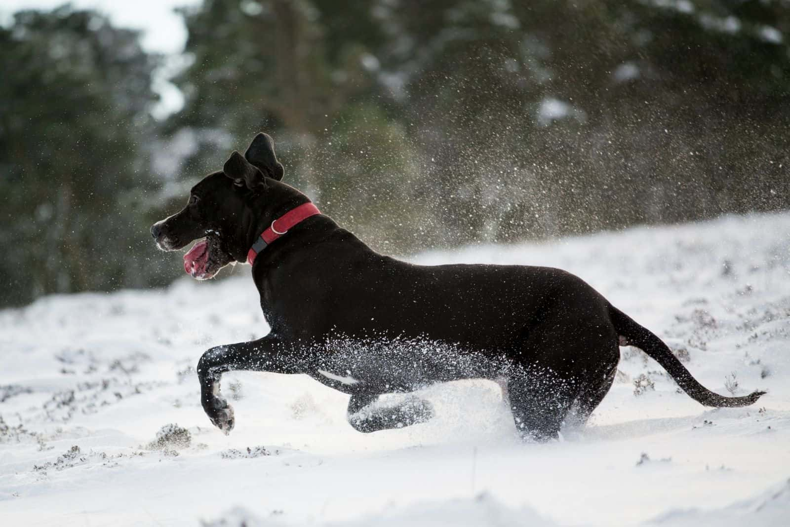 black great dane running in the snow