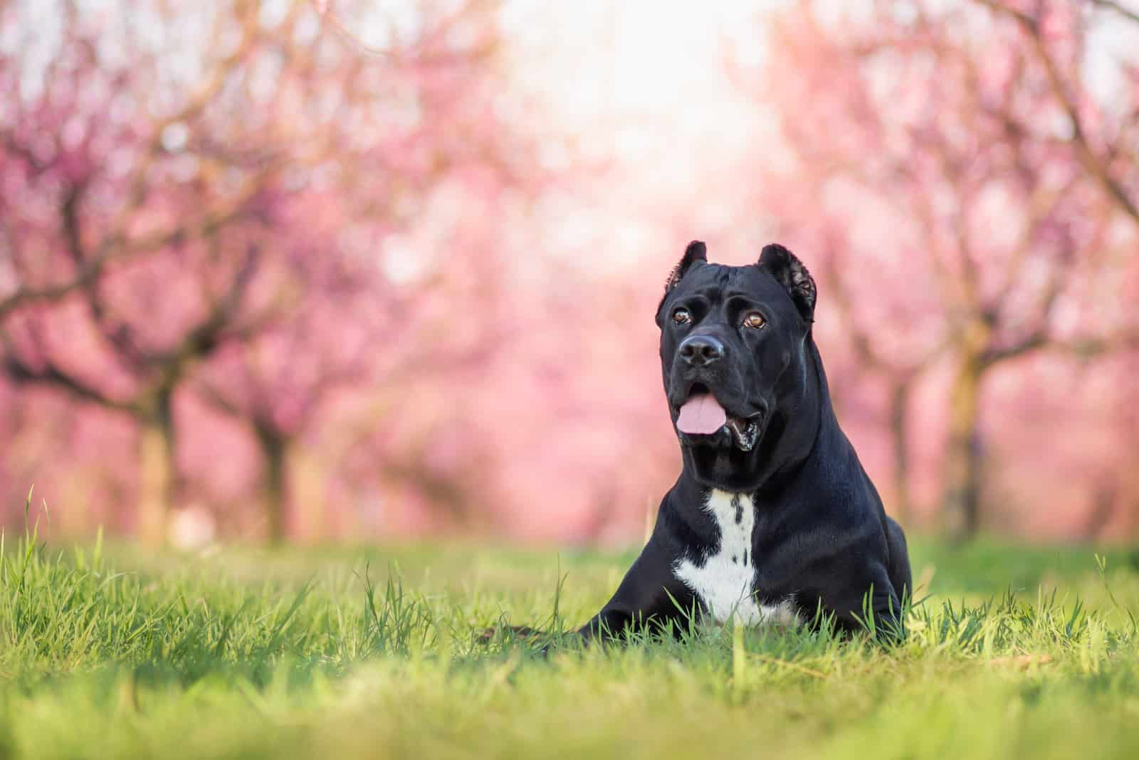 black cane corso in the blossoming park