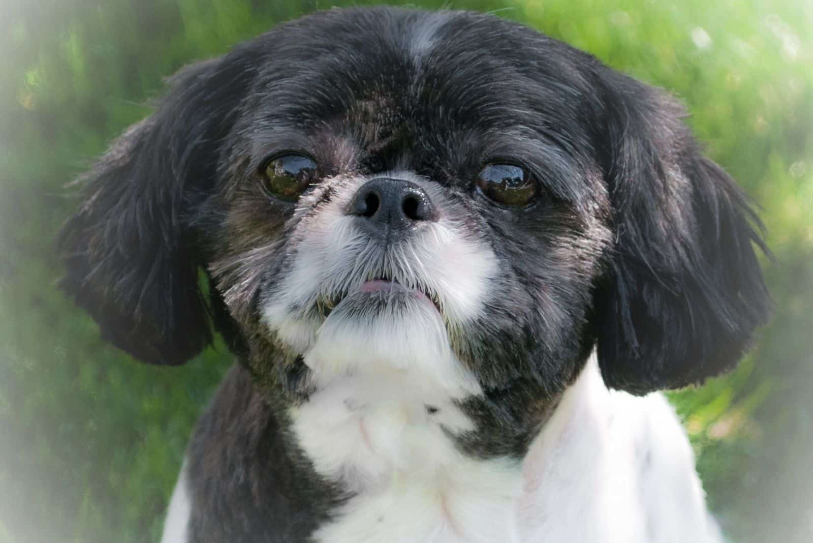 black white shih tzu puppy in close up image outdoors