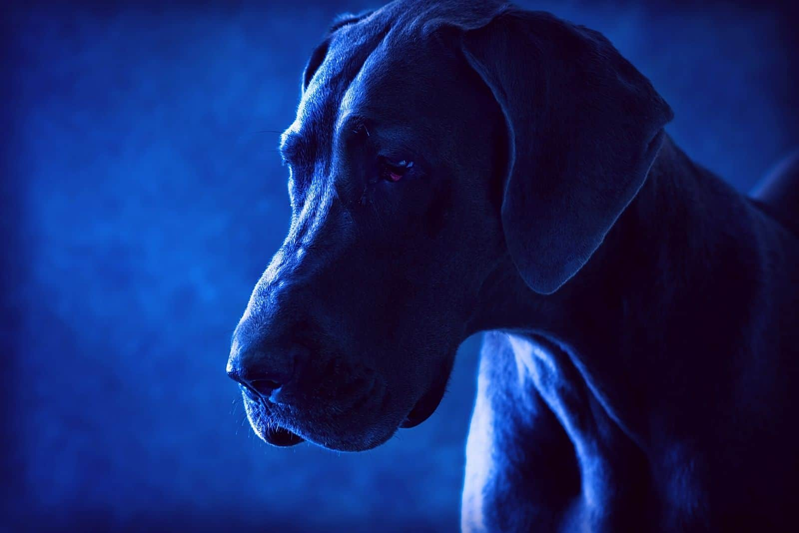 blue great dane in a dramatic studio lighting