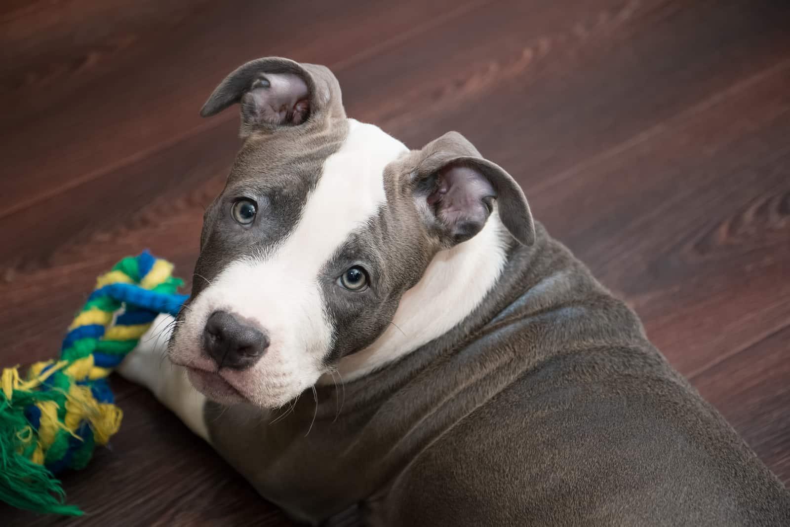 blue nose pitbull dog lying