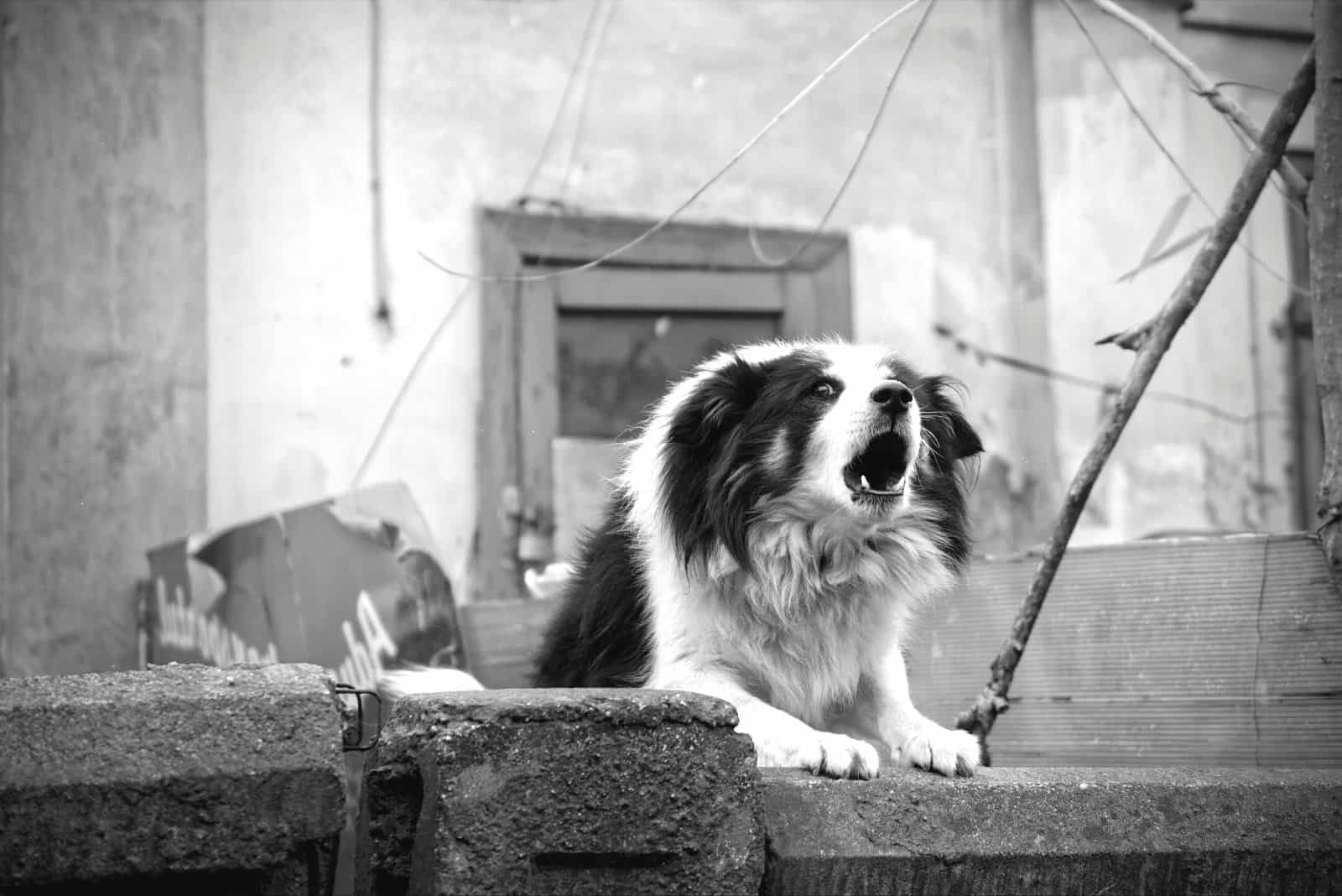 border collie barking in monochrome photo