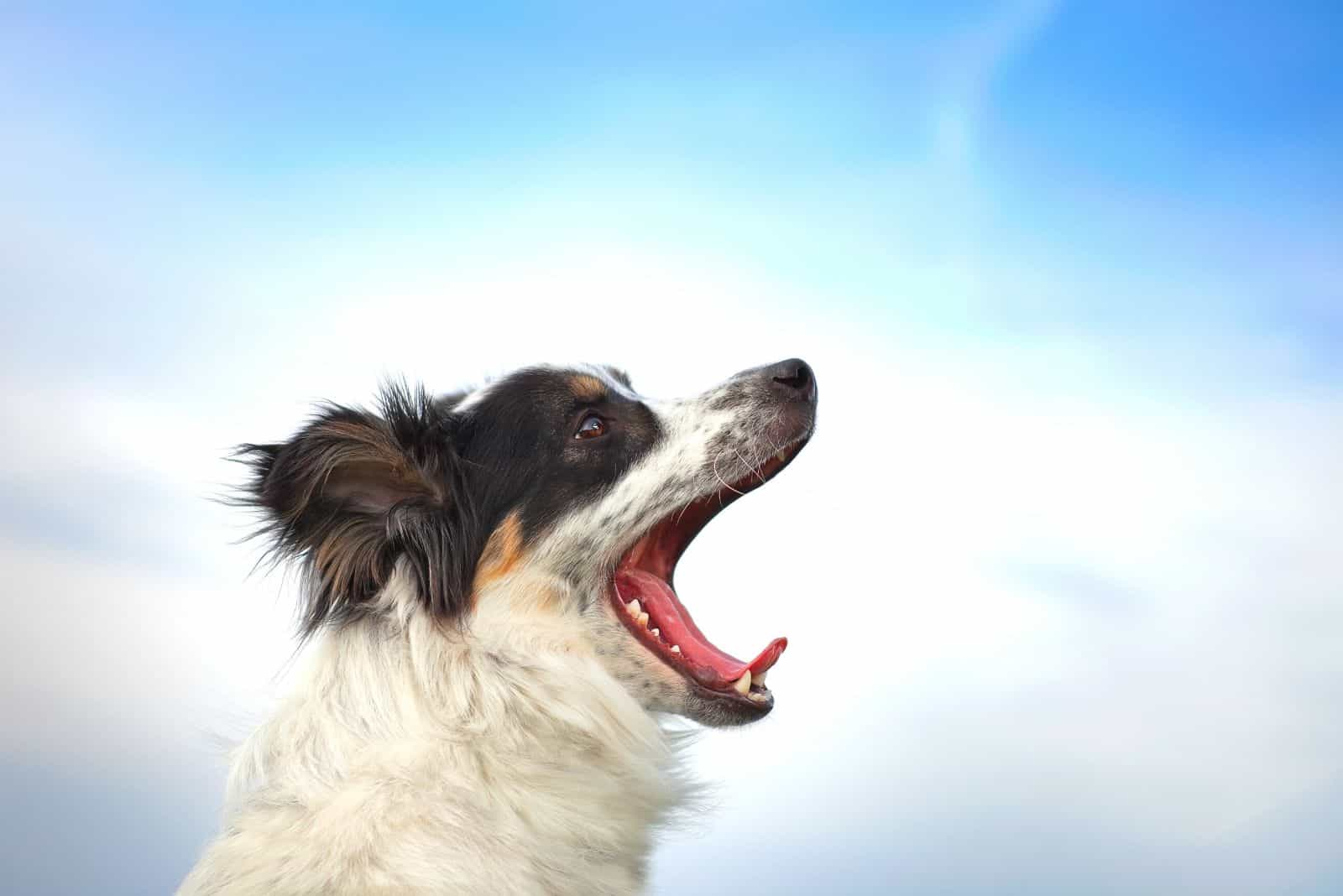 border collie barks at the blue light sky