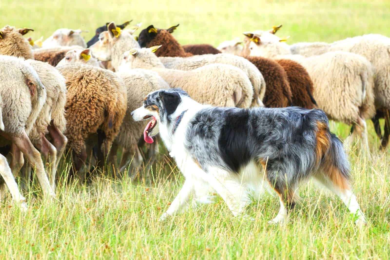 border collie herding a group of sheeps in the field