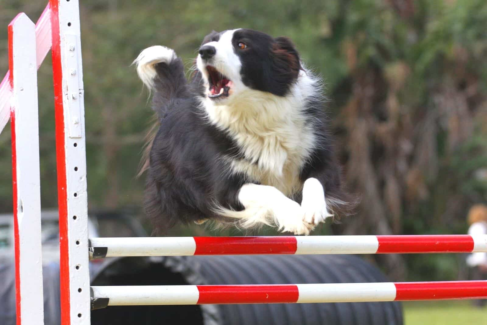 border collie jumping over the hurdle in the field