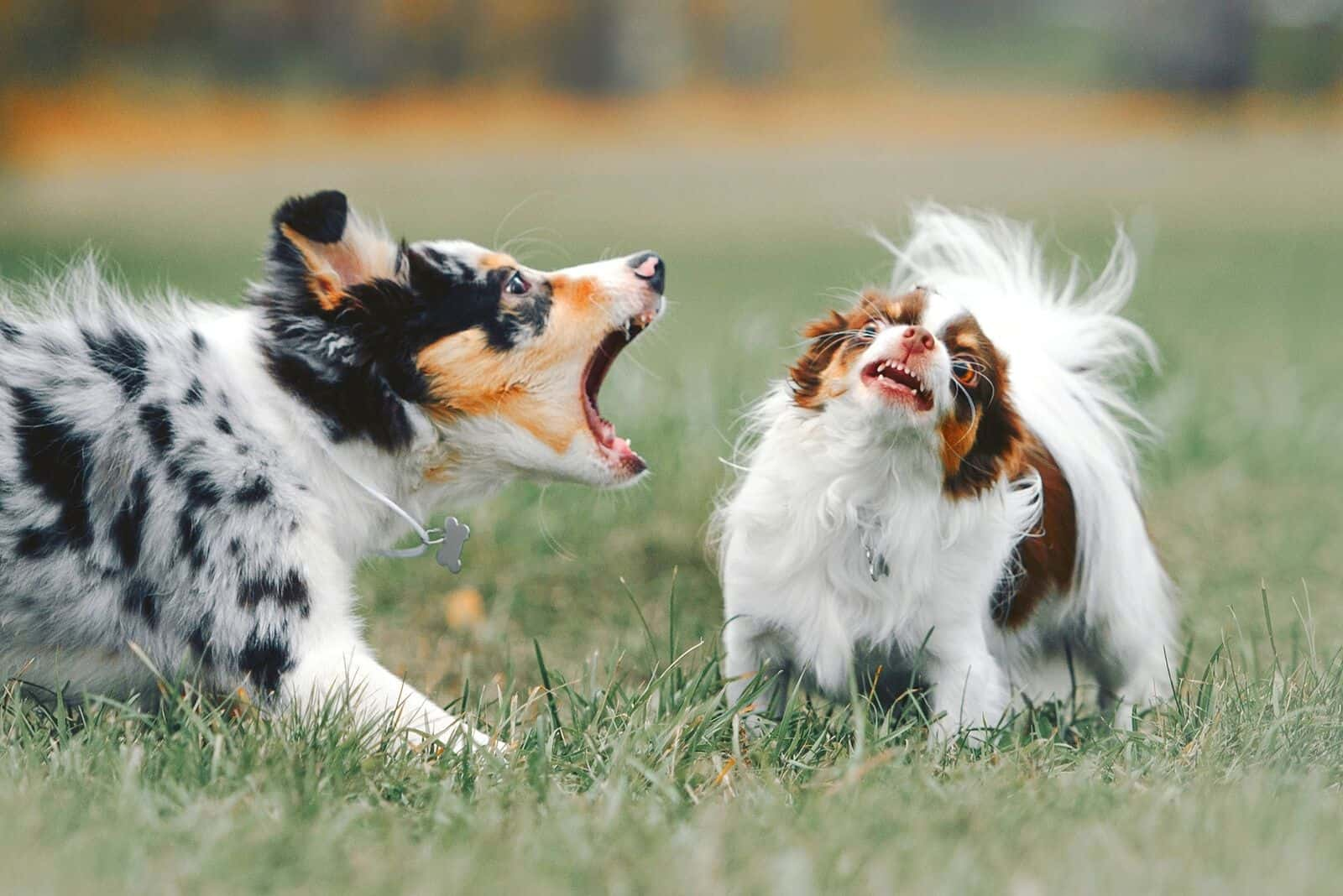 border collie puppy barking on another dog during playtime