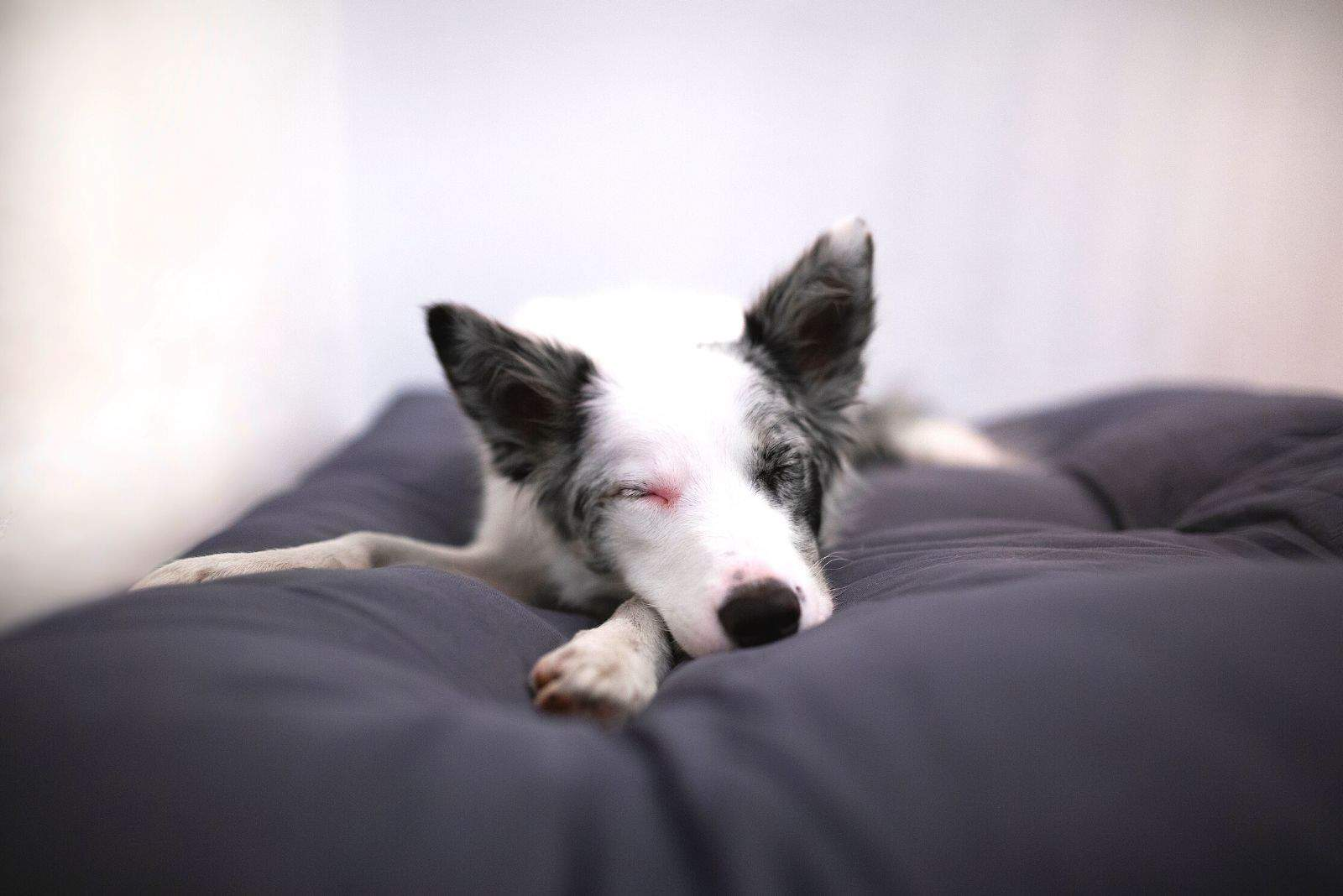 border collie sleeping in a grey bed
