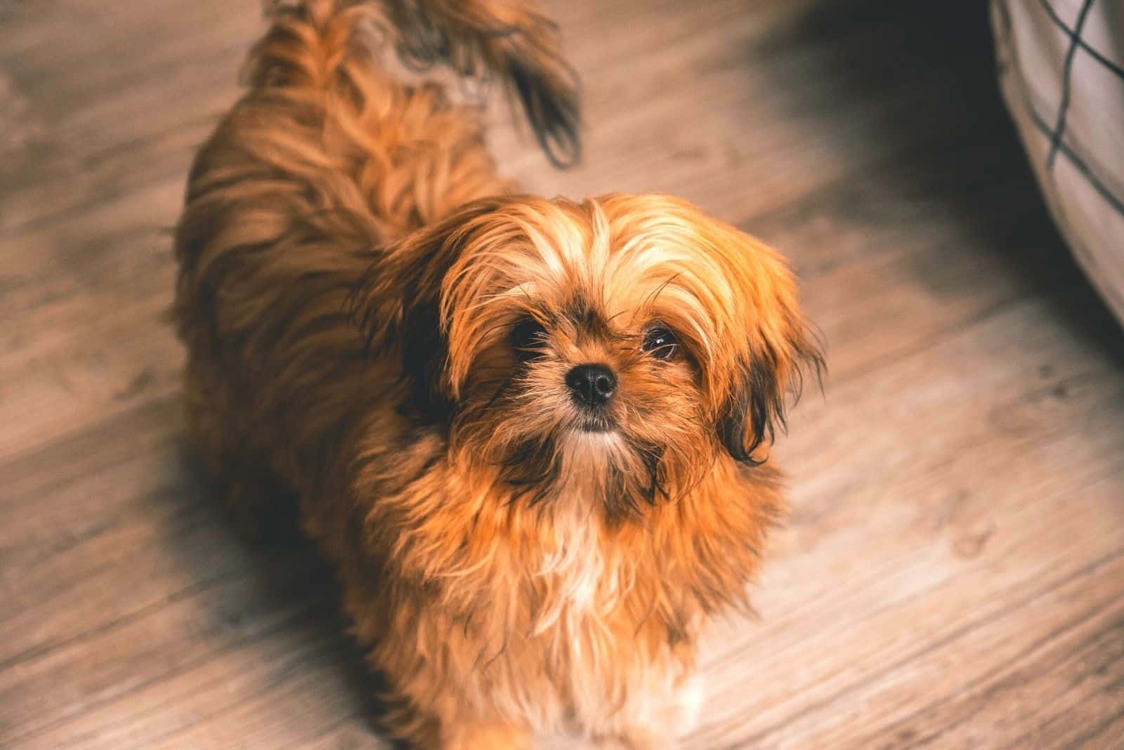 brown shih tzu puppy looking up at the camera inside home