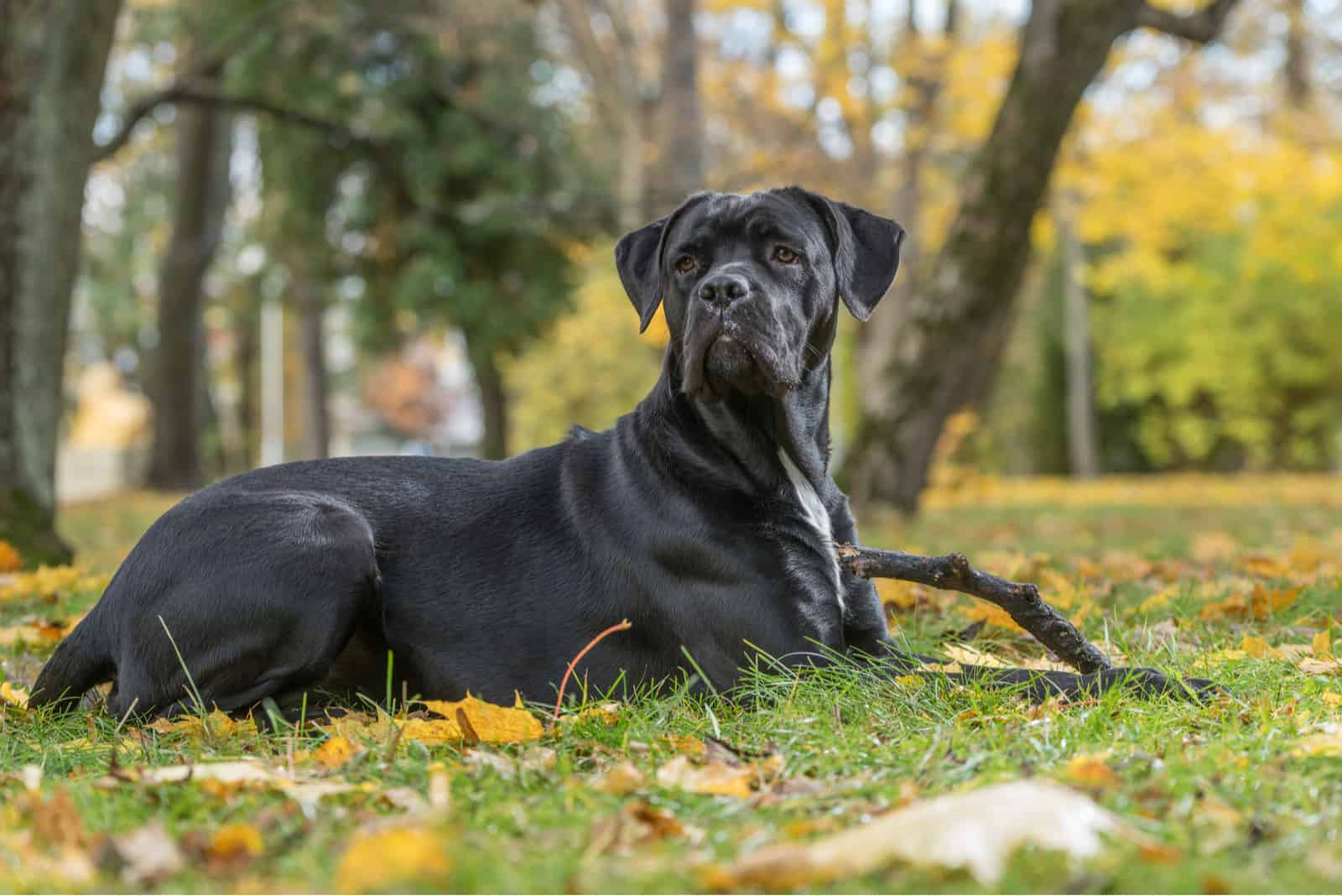cane Corso dog lying on the leaves in park
