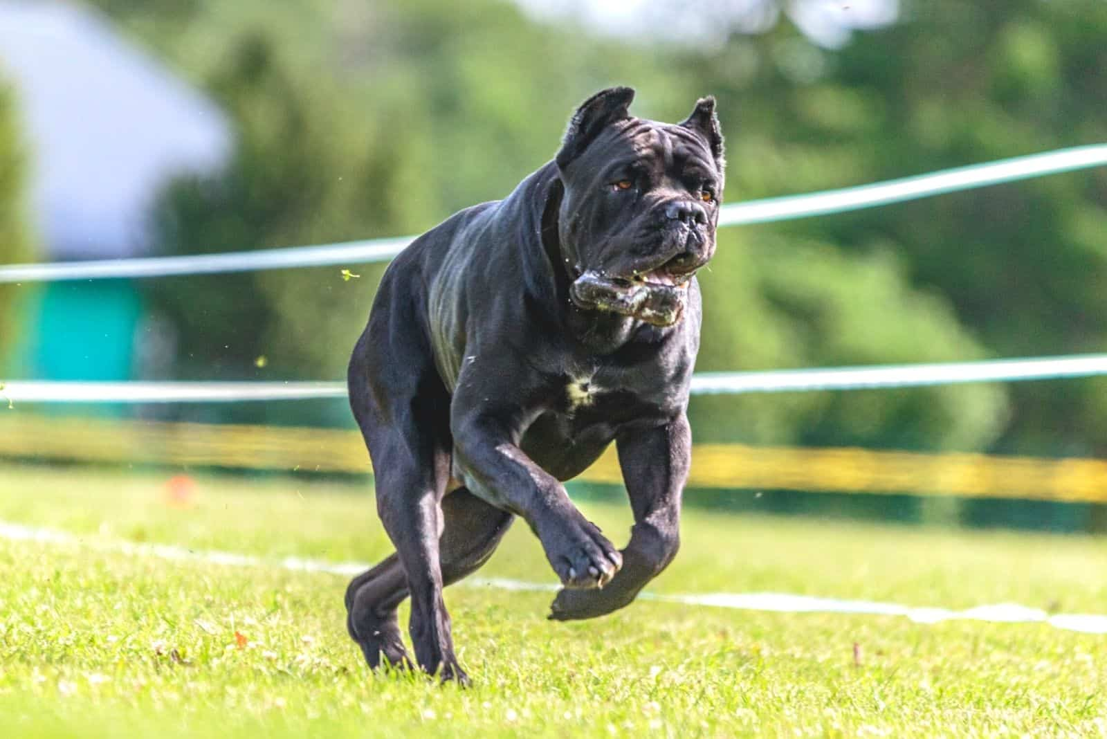 cane corso competing in lure coursing competition