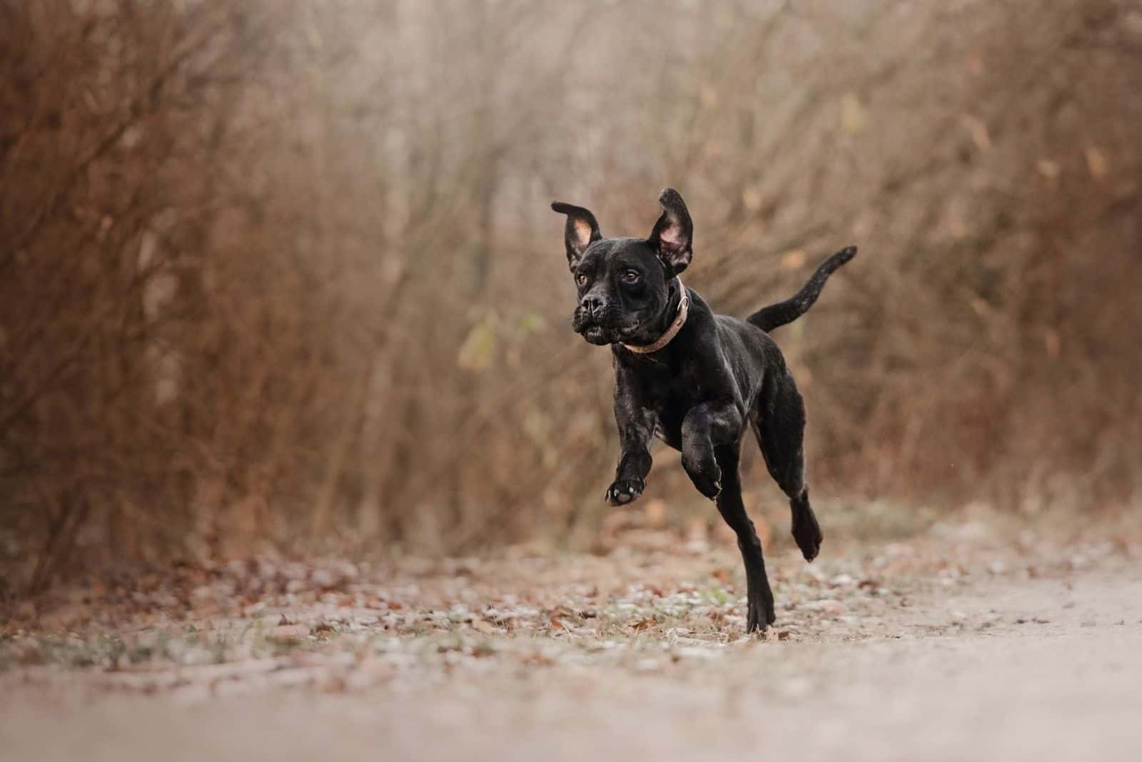 cane corso dog running in the forest