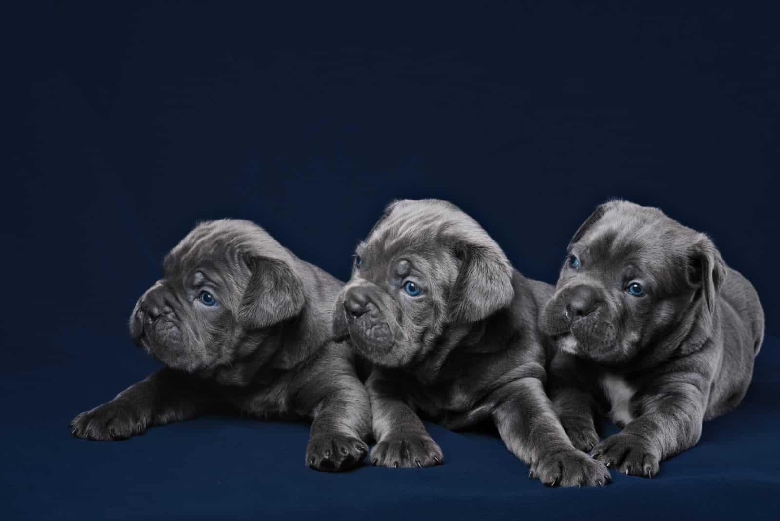 cane corso great dane puppies in black background