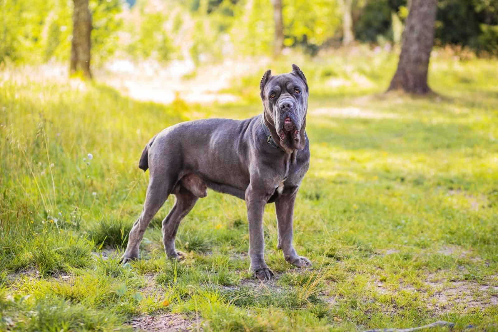 cane corso great dane mix standing in the middle of the forest