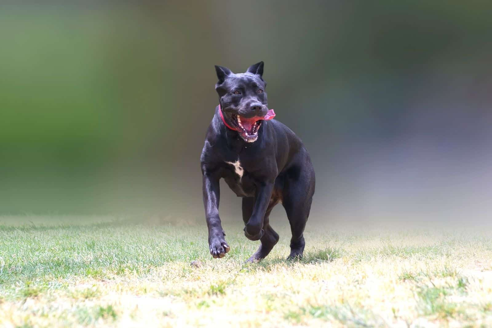 cane corso jumping and running in blurred background outdoors