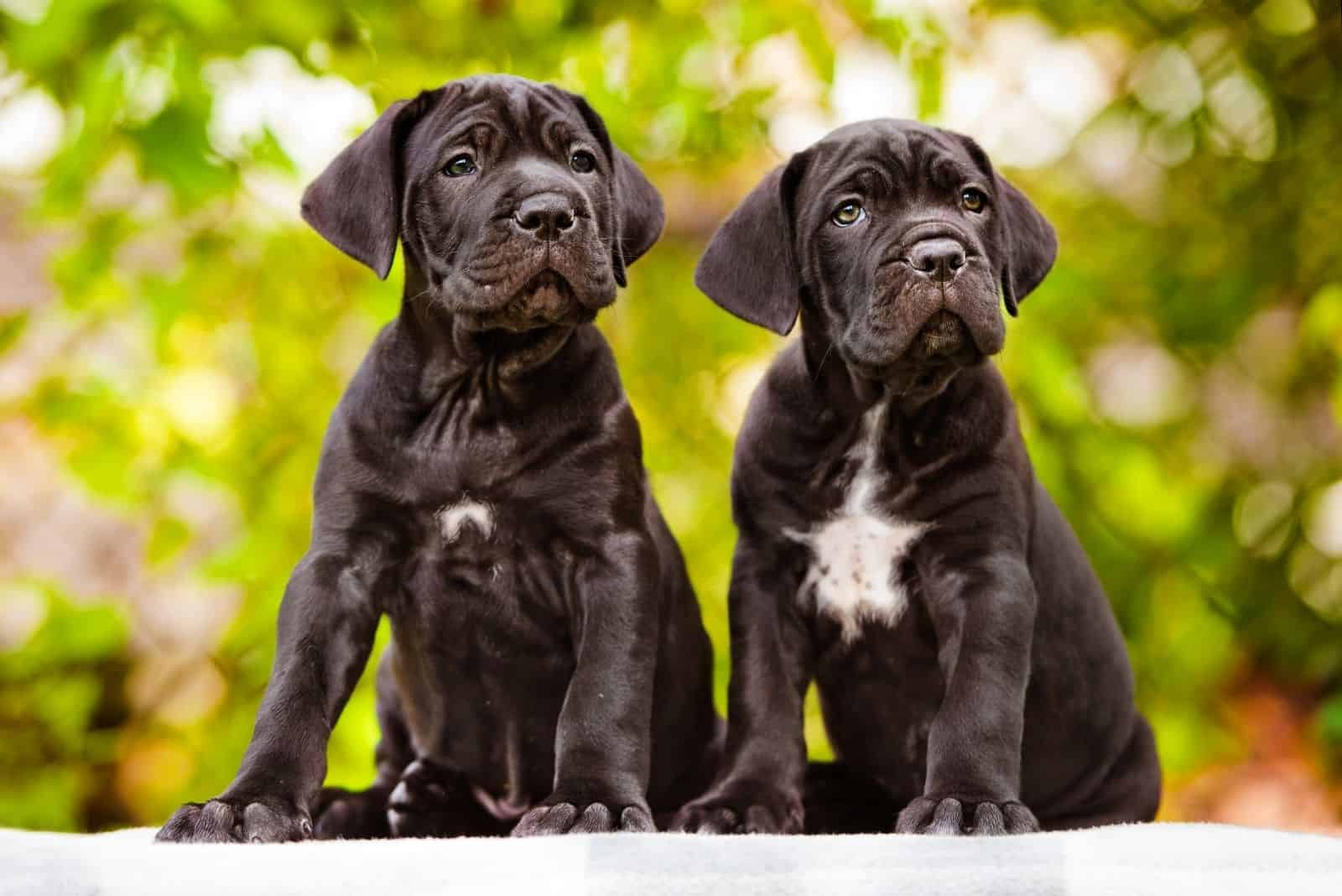 cane corso puppies standing and looking at the same direction