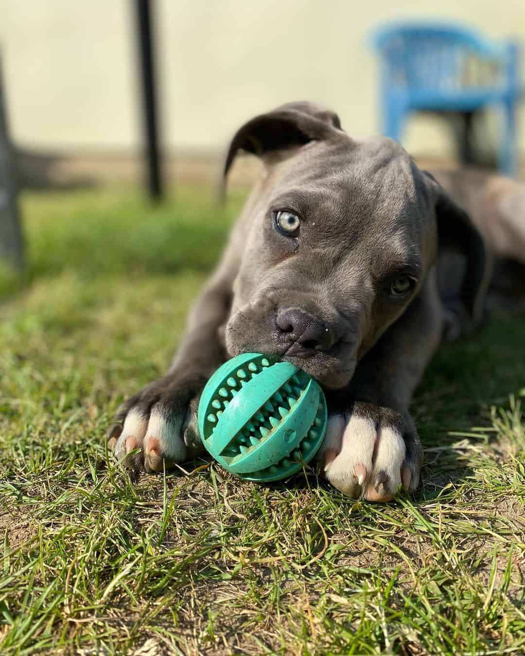 cane corso puppy lying on the grass