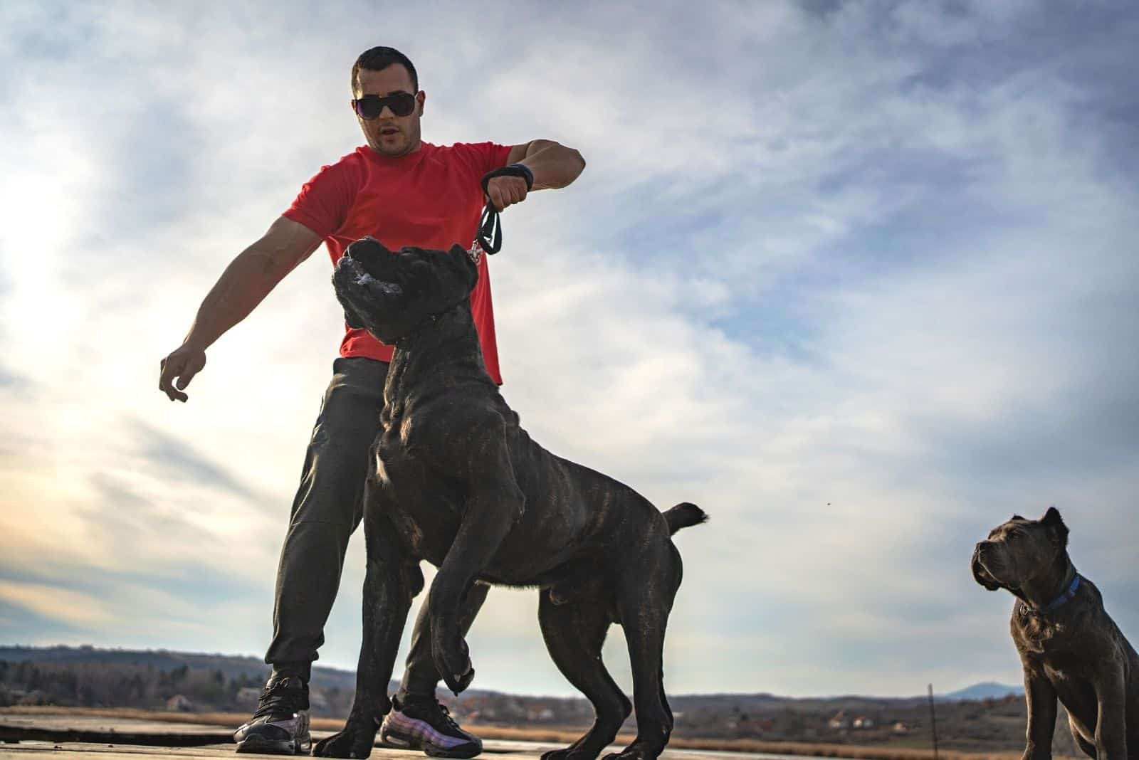 chained cane corso dog being held by owner for being aggressive