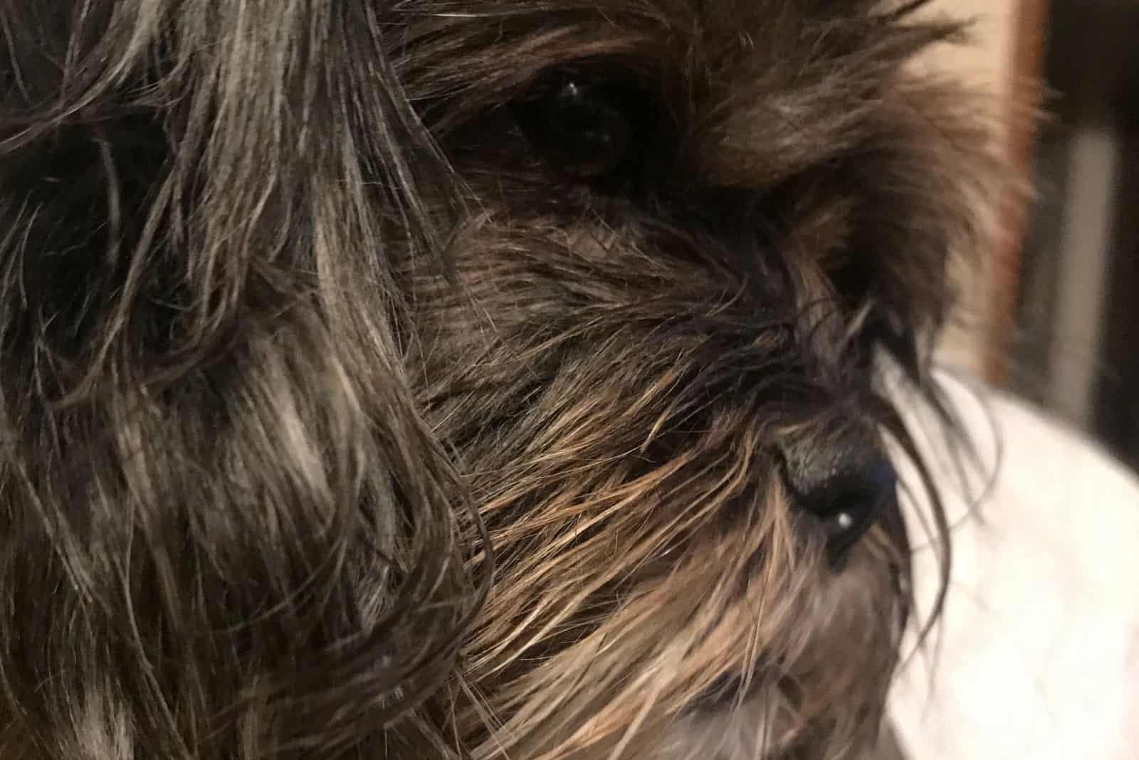 choco shih tzu dog in close up sideview image