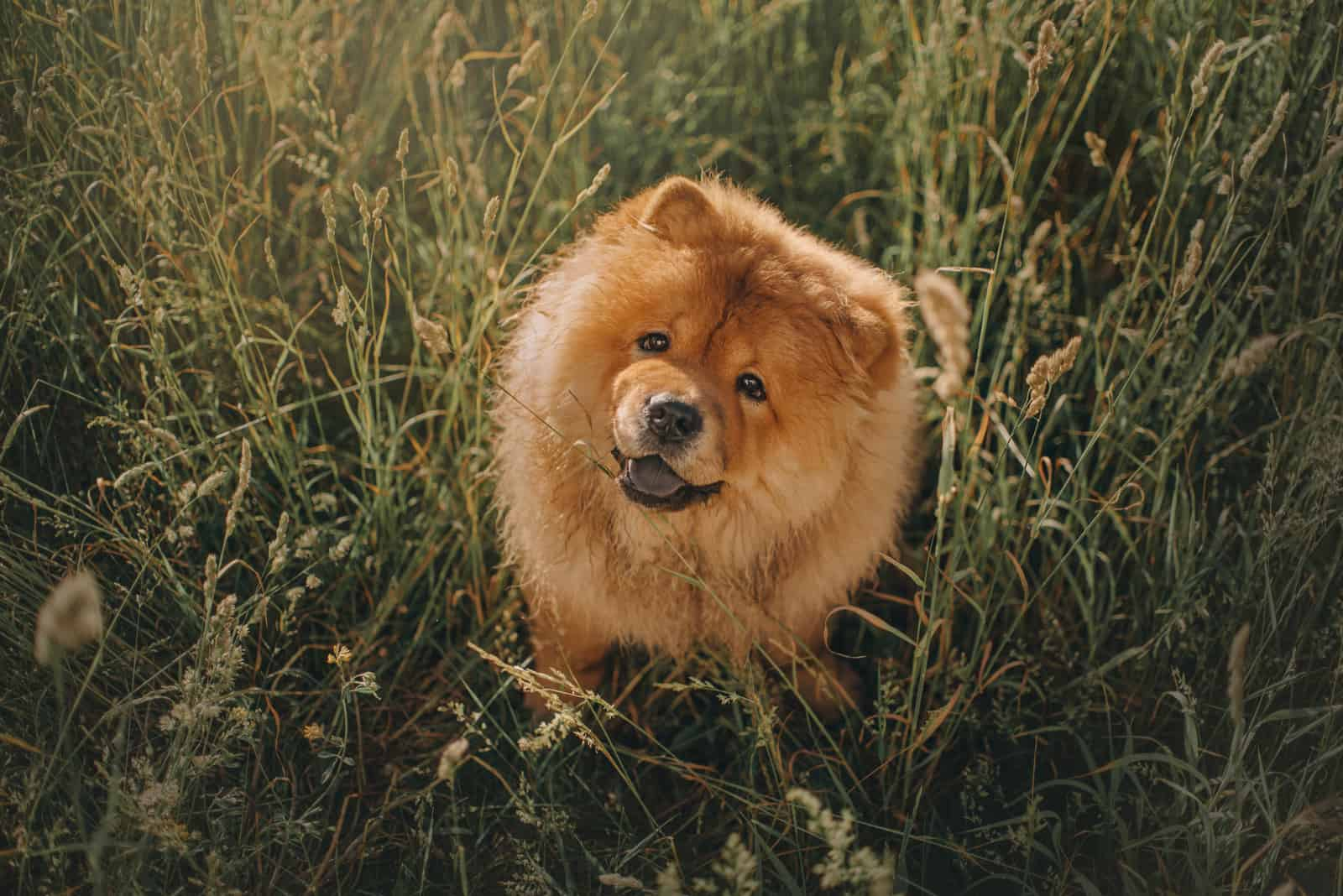 chow chow dog sitting in long grass outdoors