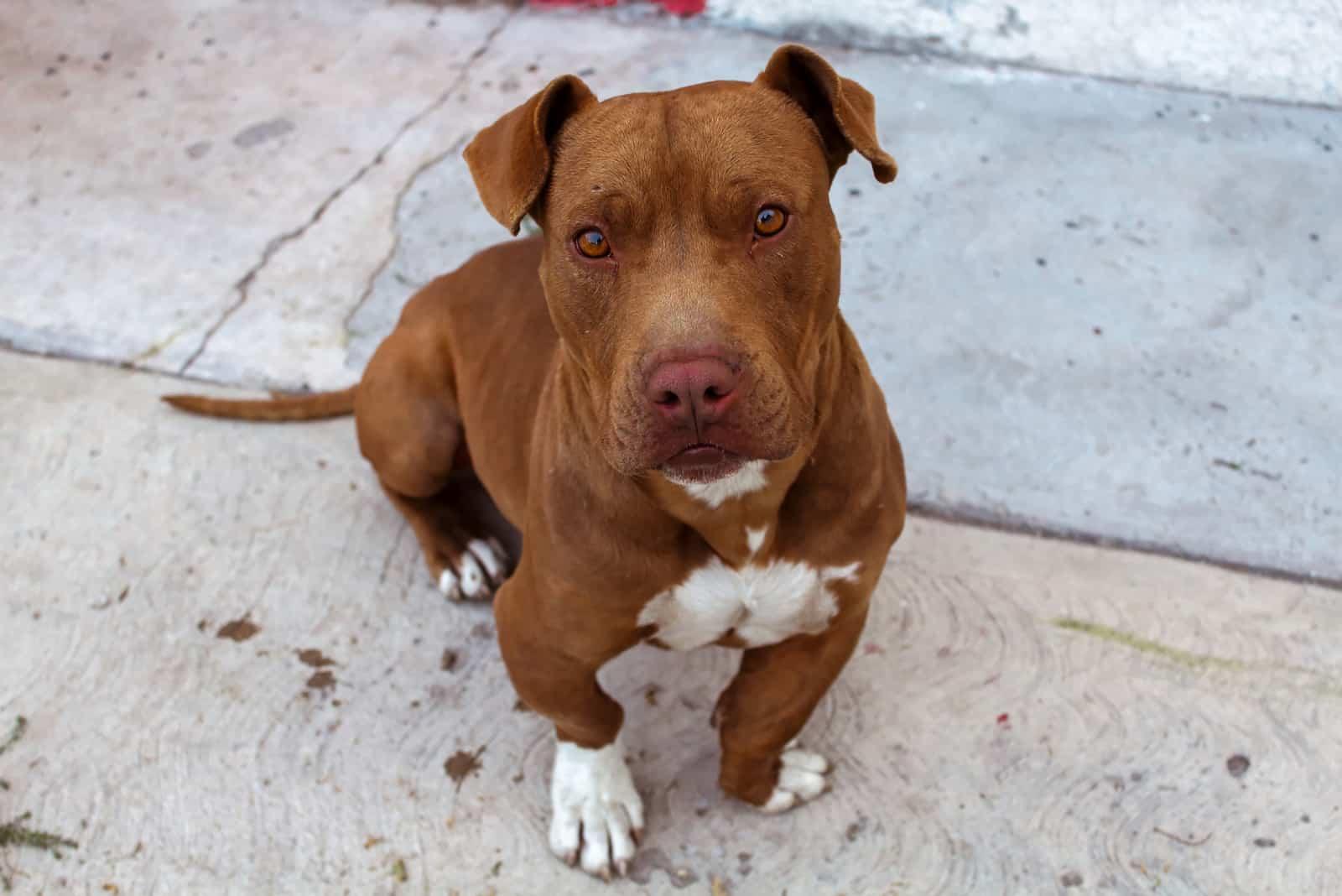 color brown pitbull breed dog