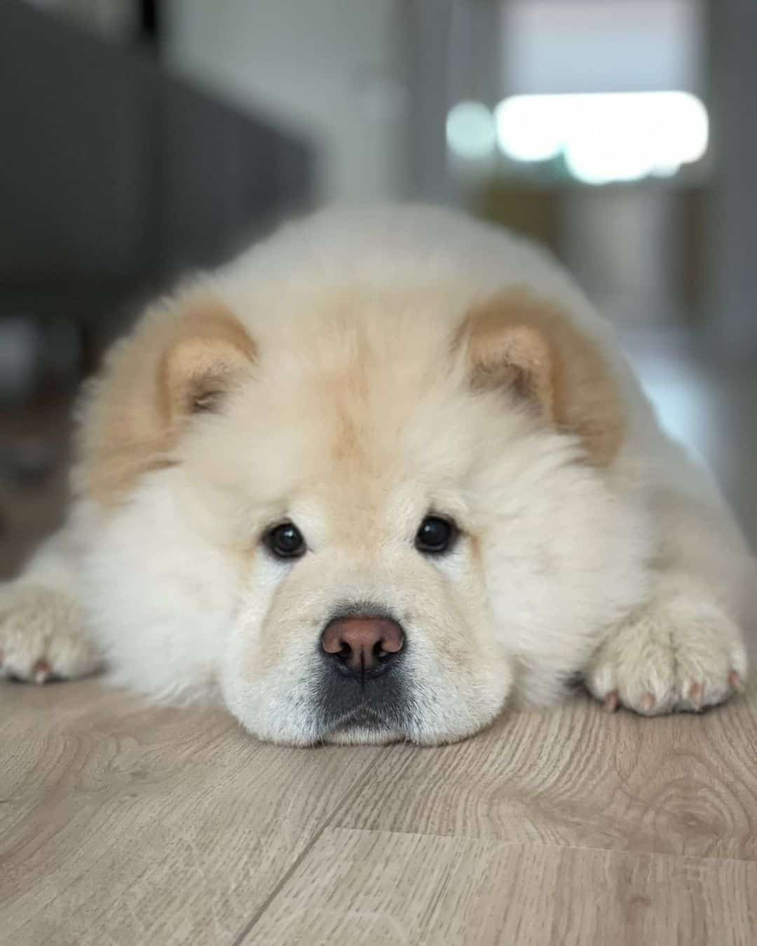 cute chow chow dog lying in house