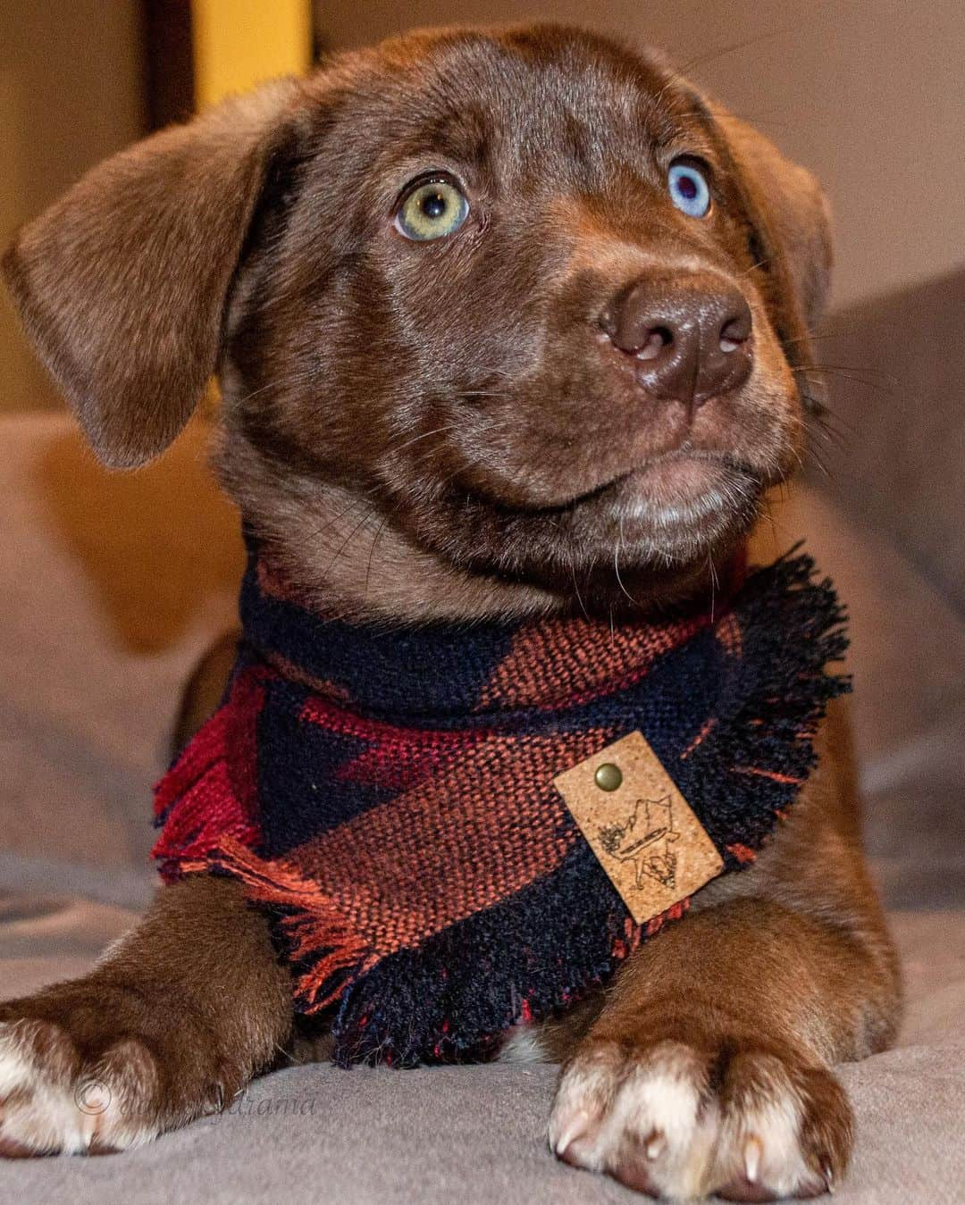 cute danesky puppy