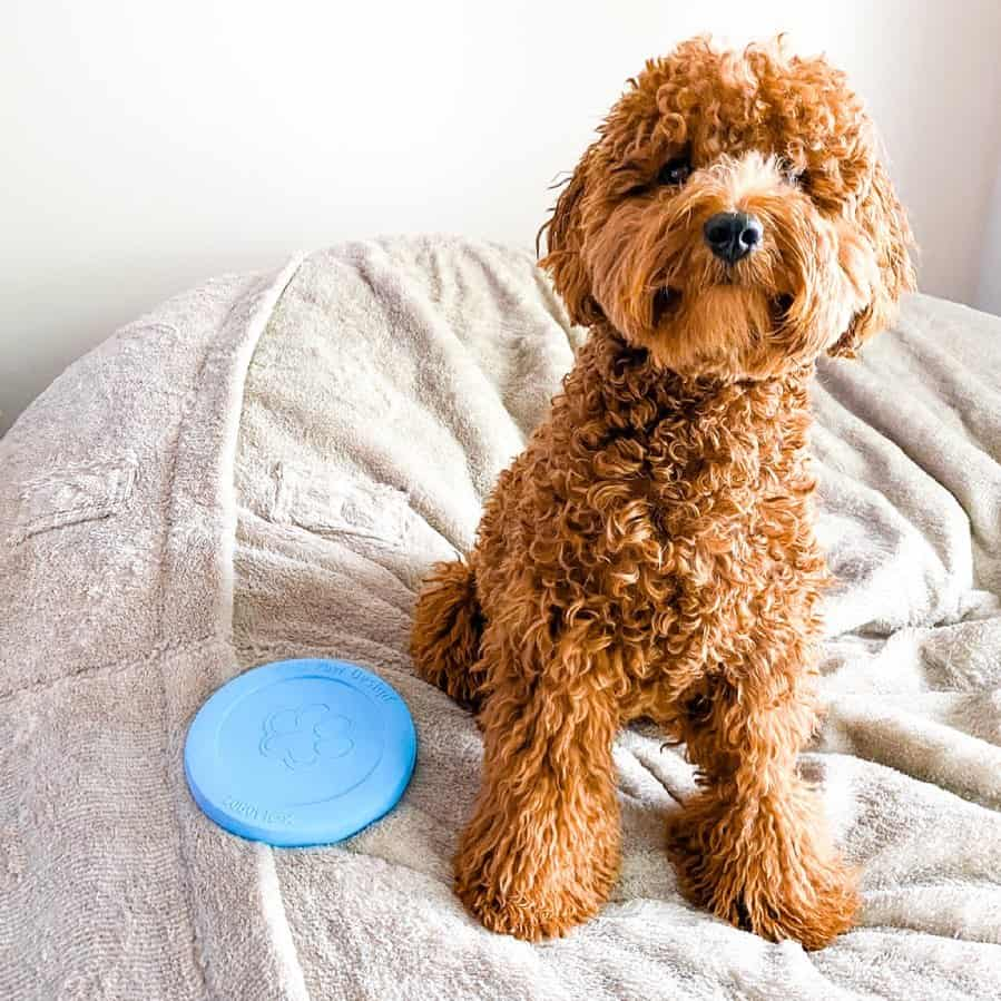 cute f1 goldendoodle in bed
