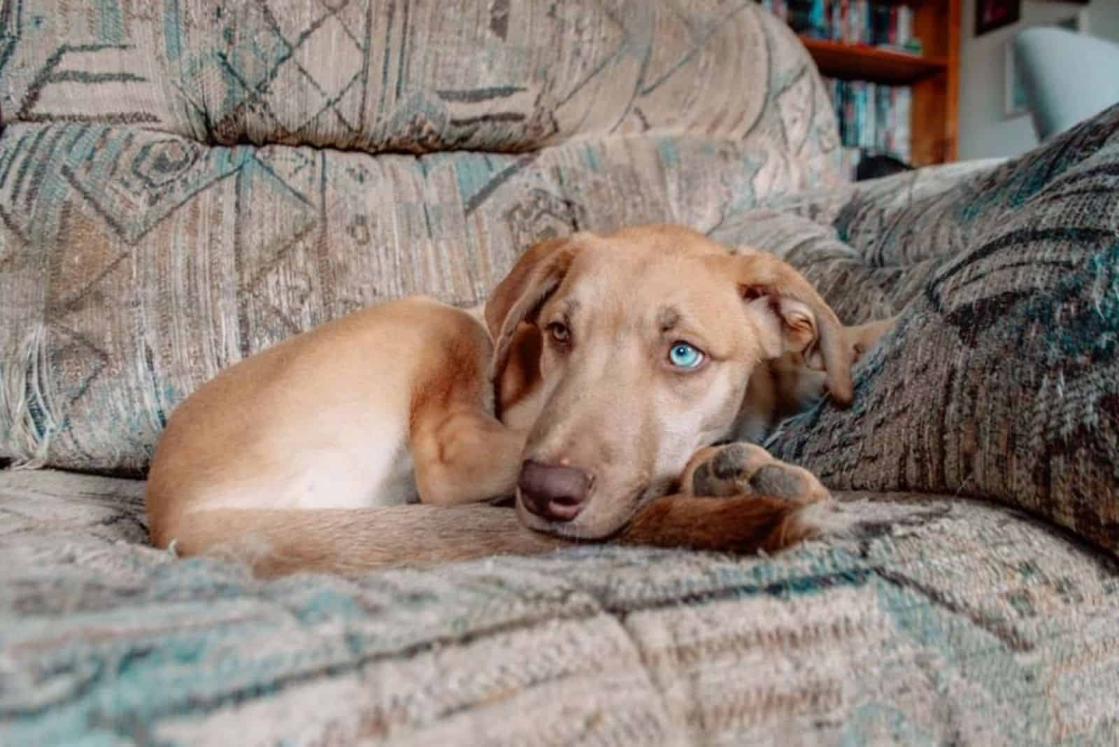 cute great danesky resting at home