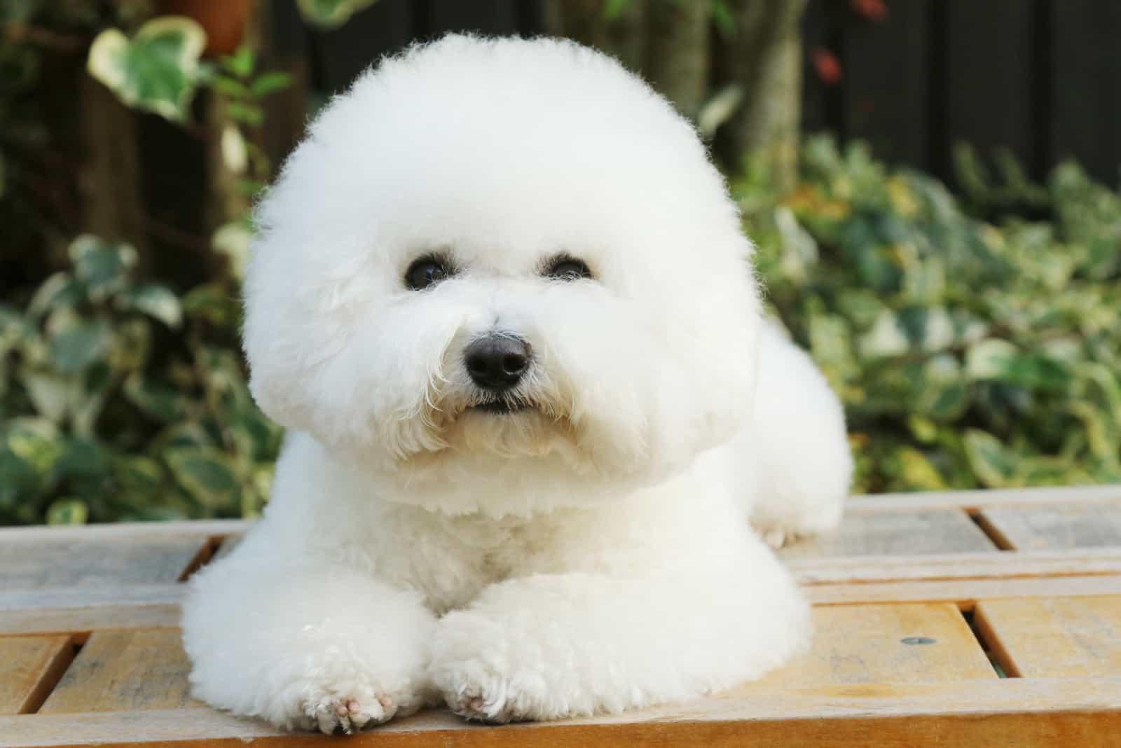 cute little Bichon Frise dog lying