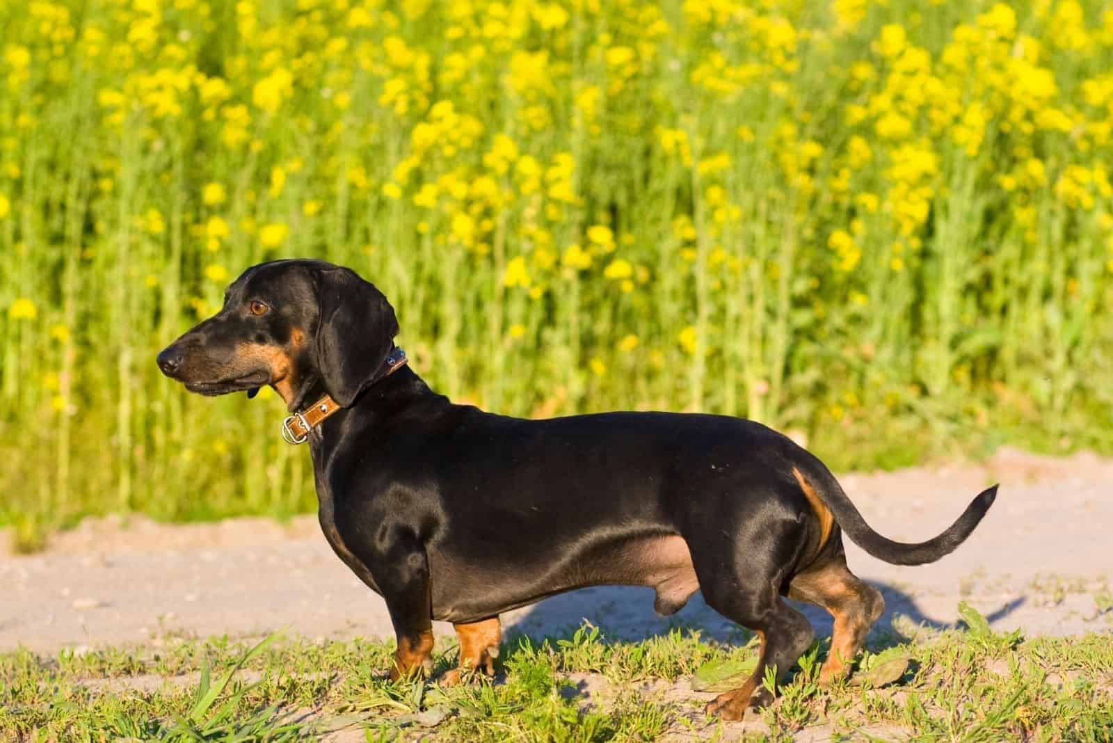 dachshund male dog standing in sideview on the garden